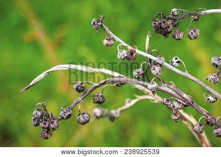 Dead Flower - Dead Life. On Green Background In Garden