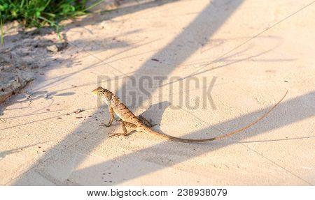 Asian Long-tail Lizard On Hot Sunny Ground. Tropical Lizard In Garden. Brown Lizard In Wild Nature.