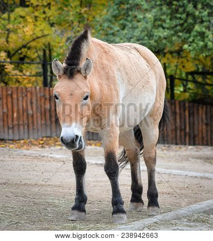 Przewalski Horse Or Dzungarian Horse At Zoo. Przewalski Horse Is A Rare And Endangered Subspecies Of