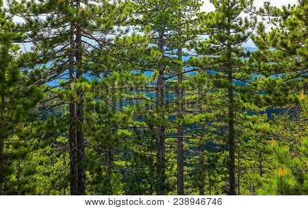 Pine Tree Evergreen Forest, Trees Trunks Backdrop. Photo Depicting A Beautiful Mystic Dark Misty Bac
