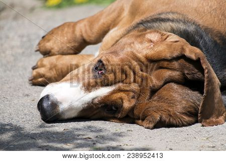 Elderly Dog Of The Basset Hound Breed Collapsed On The Ground