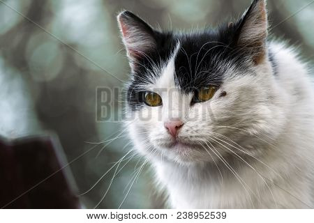 Fluffy Yellow-eyed Cat With A Tick Under The Eye. Tick Dug Cat Under The Eye