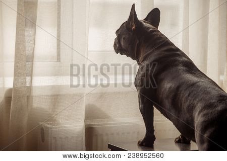 A French Bulldog Stands On The Couch And Looks Out The Window Through Tulle