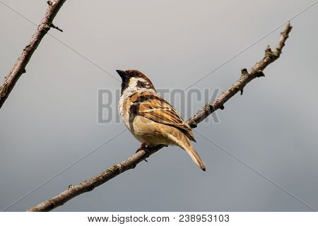 Male House Sparrow Sits On A Branch (passer Domesticus)