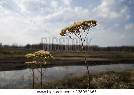 Withered grass bush.Dry branch against a green background. Dry bush poster