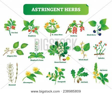 Astringent Herbs Vector Illustration Collection. Natural Homeopathy Wild Plants Botanic Set. Health