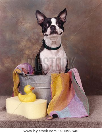 Boston terrier in a tub