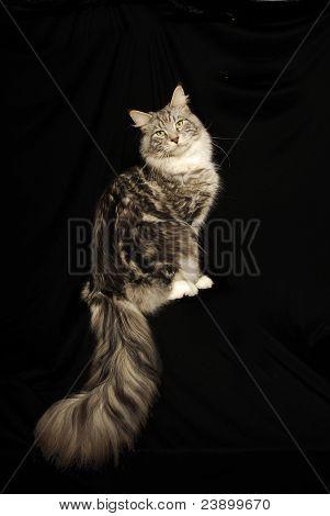Maine Coon Cat Portrait