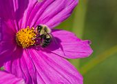 a very furry bee on a dark pink Cosmos blossom poster