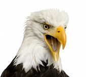 Bald Eagle (22 years) - Haliaeetus leucocephalus in front of a white background poster