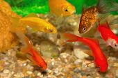 golden gold fish swimming and eating in aquarium poster