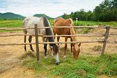 two Horses Standing and eating grass In Farm, thailand poster
