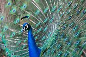 A photo of a peacock showing off for courtship at the Kansas City Zoo poster