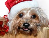 a cute Yorkie hangs out of a wood barrel filled with ribbon. He has on a Santa hat. poster