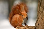 red squirrel in winter fur on the tree stub poster