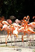 A group of Caribbean flamingo Phoenicopterus ruber poster