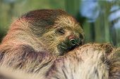 Happy dream. Soft focus dreamy image of cute sloth sleeping Funny animal meme image, Linnes two toed sloth Choloepus didactylus poster