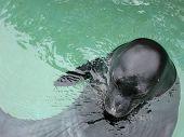 Top view of a Hawaiian Monk Seal (monachus schauinslandi) in the water. poster