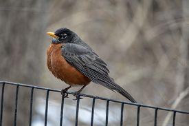 American Robin (turdus Migratorius) Is A Migratory Songbird In The Thrush Family