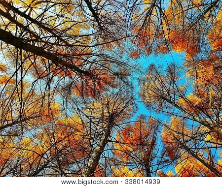 Fall Tree Tops Shot From Below. Blue Sky Background Through Tree Tops & Branches In Autumn Forest. A