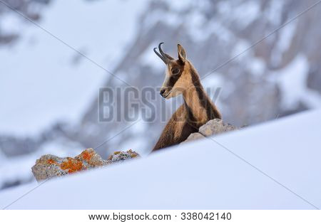 Chamois In The Snow On The Peaks Of The National Park Picos De Europa In Spain. Rebeco,rupicapra Rup