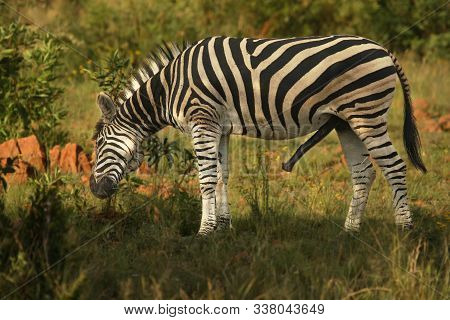 The Plains Zebra (equus Quagga, Formerly Equus Burchellii) Mail With Erection And Green Background.