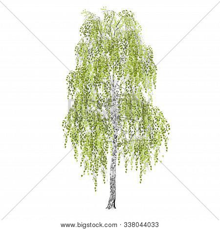 Birch (betula L.), Spring Or Summer, Green Foliage, The Color Vector Image On A White Background