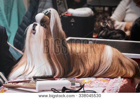 Dog Hairdresser Lhasa Apso Shih Tzu Grooming Combing Brushing Fur Dog Show .