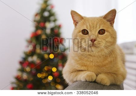 Beautiful Red British Shorthair Cat Over The Christmas Tree With Blurry Festive Decor. Portrait Of B