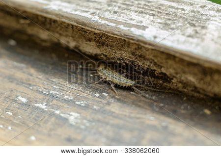 Insect Lepisma Saccharina. Thermobia Domestica. Silverfish. Thermobia Domestica In Normal Habitat. M