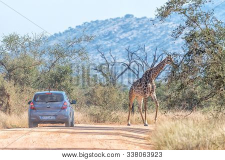 Kruger National Park, South Africa - May 3, 2019: A Vehicle Waiting For A Giraffe To Cross A Road In