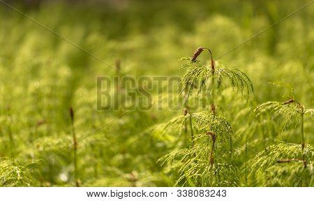 Wood Horsetail - Equisetum Sylvaticum - Green Nature Backgrounds