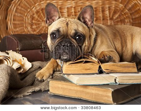 french bulldog and book