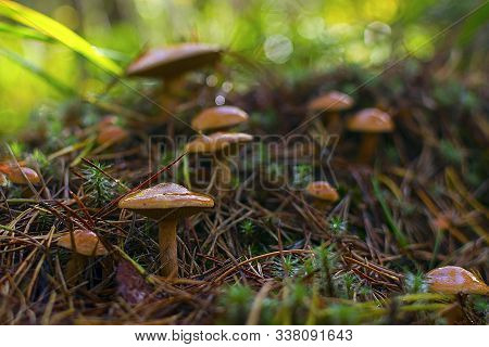 Mushrooms In The Forest. Many Bovine Mushrooms. Natural Background.