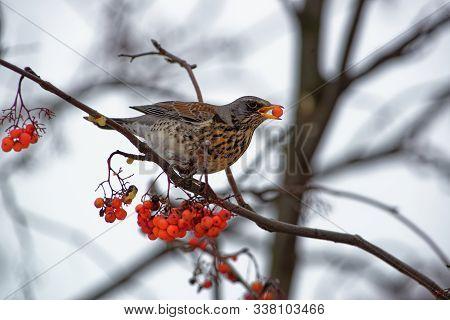 Turdus Pilaris - Fieldfare Picking And Eating Rowanberry In Winter, Member Of The Thrush Family Turd