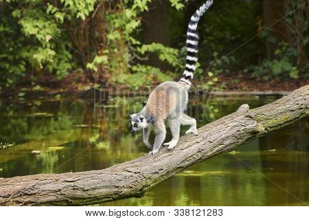 Ring-tailed Lemur, Lemur Catta, A Strepsirrhine Primate, With A Protruding Muzzle And A Wet Nose. An