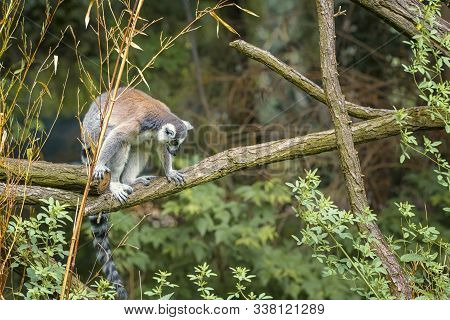 Ring Tailed Lemur, Lemur Catta, A Strepsirrhini Primate With An Extremely Long, Heavily Furred Tail,