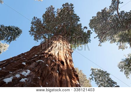 Giant Sequoia In Sequoia National Park In Winter Season, California, Usa.
