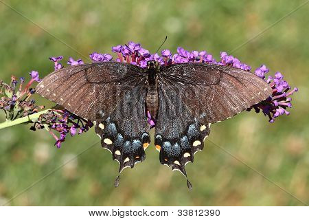 Female Tiger Swallowtail (papilio Glaucas)