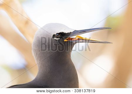White Capped Noddy Member Of Tern Family In Nesting Season Squarking With Beak Open On Lady Elliot I