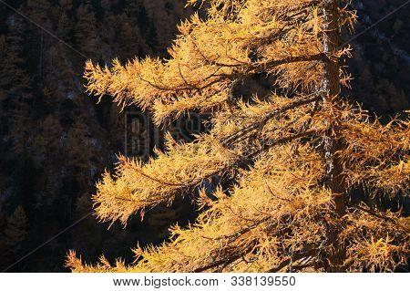 European Larch (larix Decidua) Yellow Branches, Sun Lit In Bucegi Moutnains (carpathians), Romania,