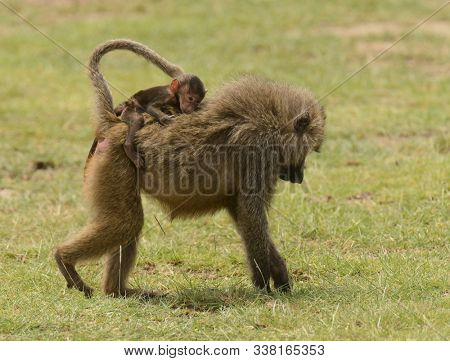 Olive Baboon baby riding on mothers back (papio anubis, or Nyani in Swaheli) in Lake Manyara National park, Tanzania