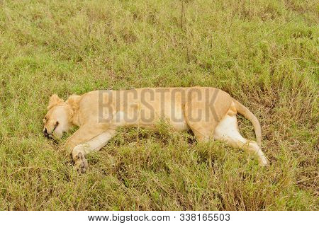 """Closeup of a young male Lion sleeping (Panthera leo, or """"Simba"""" in Swaheli)  in the Ngorongoro Crater, Tanzania poster"""