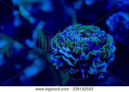 Particolored Pon Pon Ranunculus On The Background Of Defocused Garden With Copy Space For Text Or De