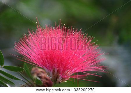 Mimosa Tree Blossom Or Powderpuff Bloom , Calliandra Surinamensis, Mimosaceae Family, Pink Powder Pu