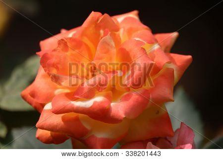 Beautiful Bush Of Yellow Roses In A Spring Garden. Rose Garden
