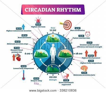 Circadian Rhythm Vector Illustration. Labeled Educational Day Cycle Scheme. Daily Human Body Inner R