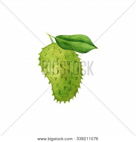 Watercolorr Drawing Soursop, Guyabano, Fruit Of Annona Muricata, Hand Drawn Illustration