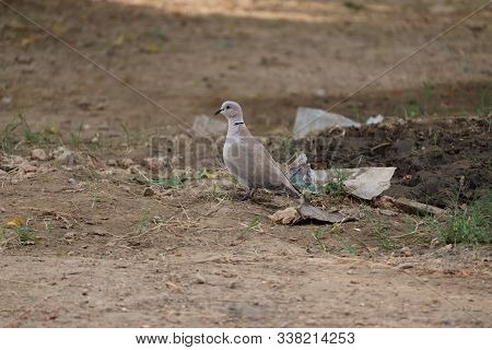 Beautiful White Dove, Dove Of Peace, On The Wet Road.the Eurasian Collared Dove Is A Dove Species Na