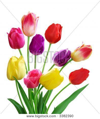 Tulip 5 couleur